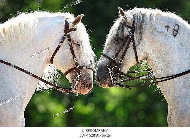two Lusitano horses - portrait