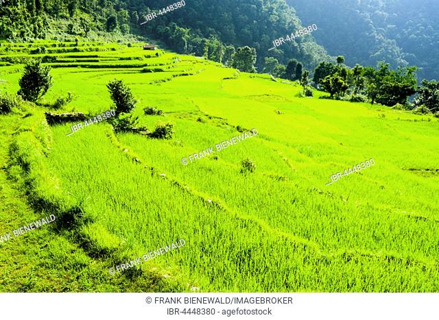 Agricultural landscape with green rice fields, Upper Harpan Khola valley, Tollogau, Kaski District, Nepal