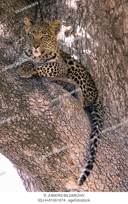 Leopard (Panthera pardus), seven month old cub in a crotch