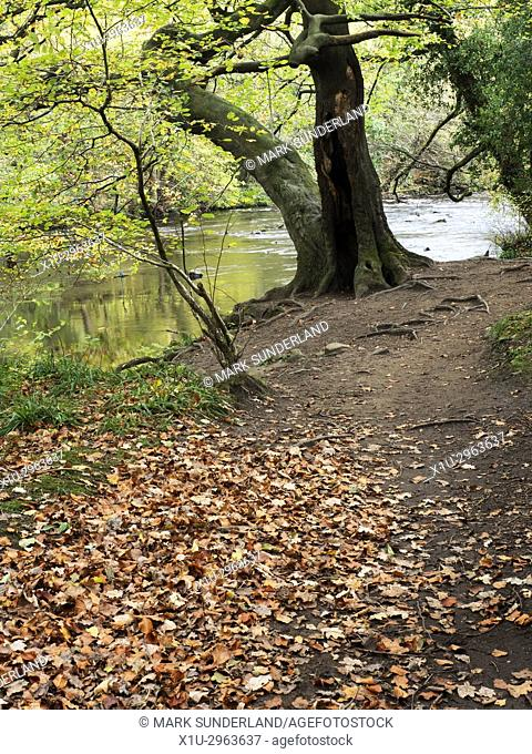 Autumn Tree by the River Nidd in Nidd Gorge Woods in Autumn Knaresborough North Yorkshire England