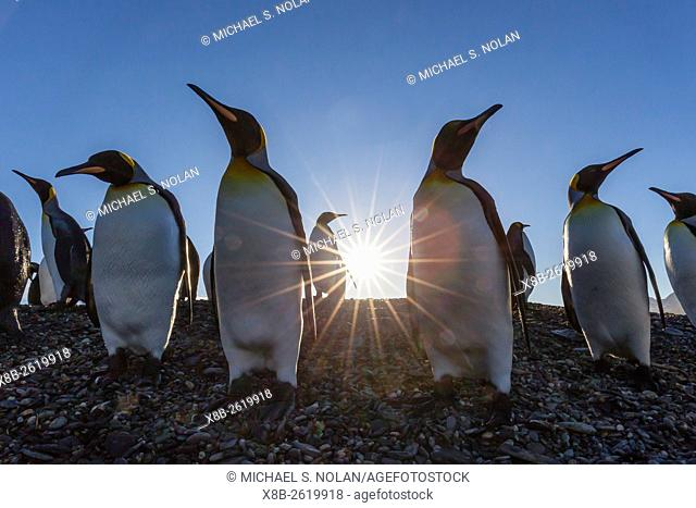 King penguins at sunrise, Aptenodytes patagonicus, in St. Andrews Bay, South Georgia