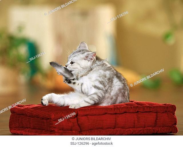 British Shrothair kitten - lying on pillow restrictions:Tierratgeber-Bücher / animal guidebooks