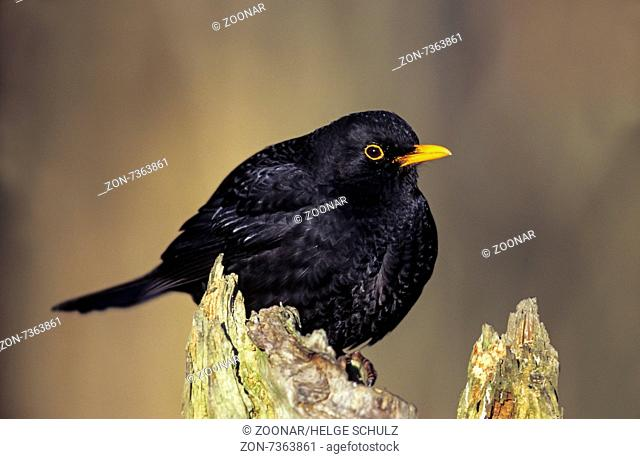 Common Blackbird adult male sits on a tree trunk