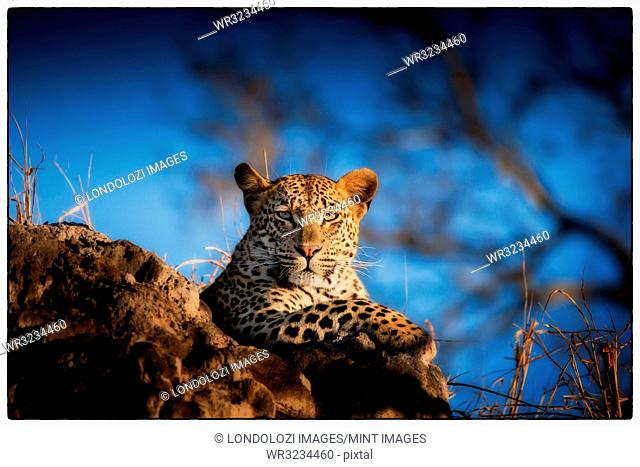 A leopard, Panthera pardus, lying on a termite mound, looking at camera, blue sky background