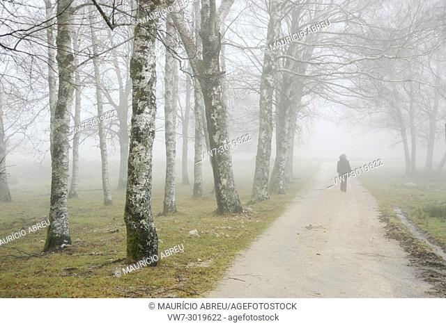 In a foggy morning, a woman walks along a forest of birch trees. Peneda Geres National Park, Portugal