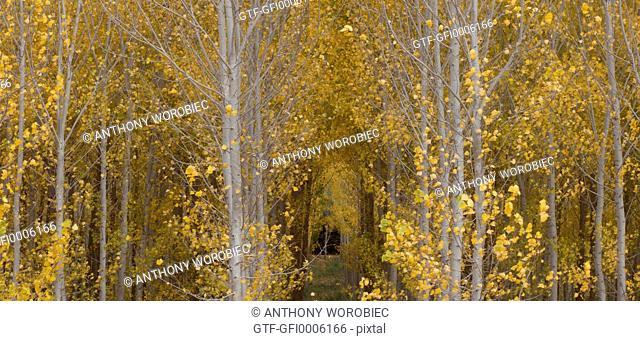 Poplar trees in autumn