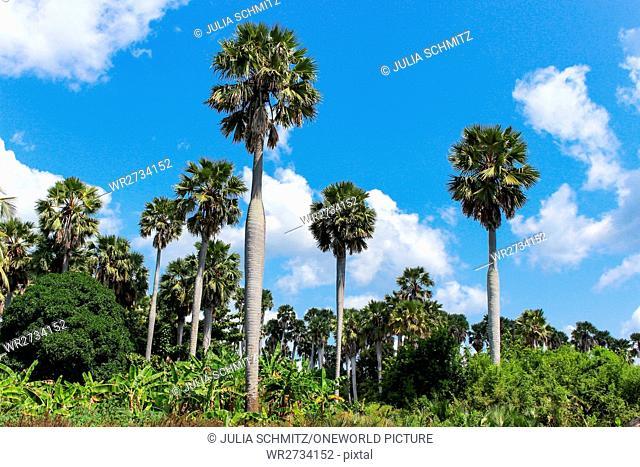 Tanzania, Zanzibar, Pemba Island, ruins Ras Mkumbuu, palm tree forest