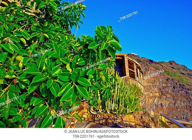 spain,canary islands, la palma : punta gorda port, euphorbia canariensis & rubber tree