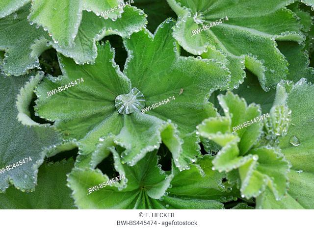 ladys mantle (Alchemilla mollis), leaves with guttation, Germany