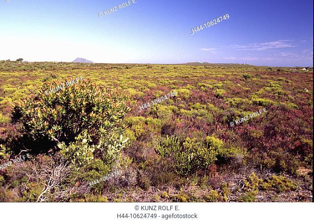 10624749, Ericacea, Fynbos, Cape of Good Hope, Kapmaccie, reserve, Protea, South Africa