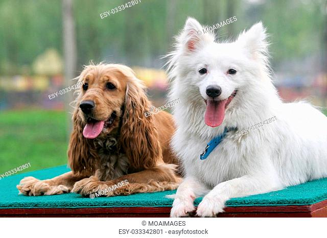 Purebred Japanese Spitz dog and English Cocker Spaniel portrait in outdoors