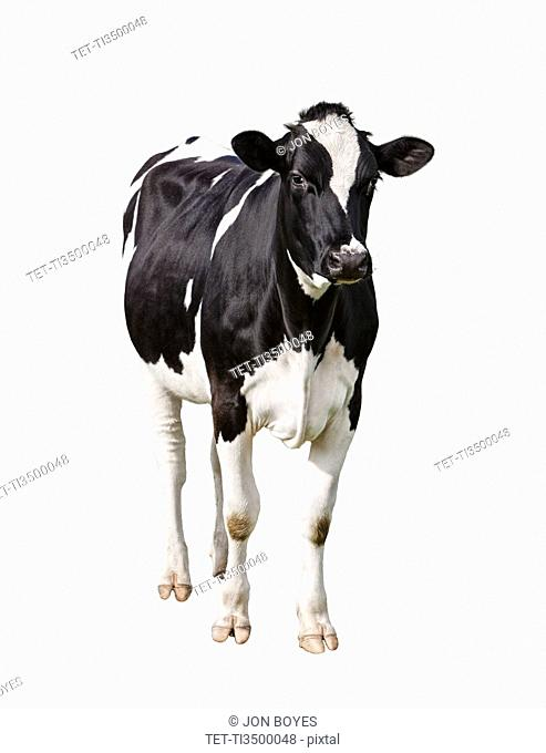 Dairy cow Bos taurus on white background
