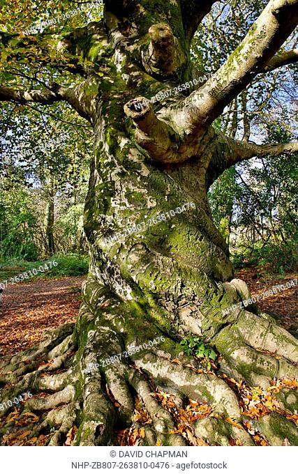 Twisted Beech Tree Fagus sylvatica Ancient Tree Tehidy; Cornwall; UK