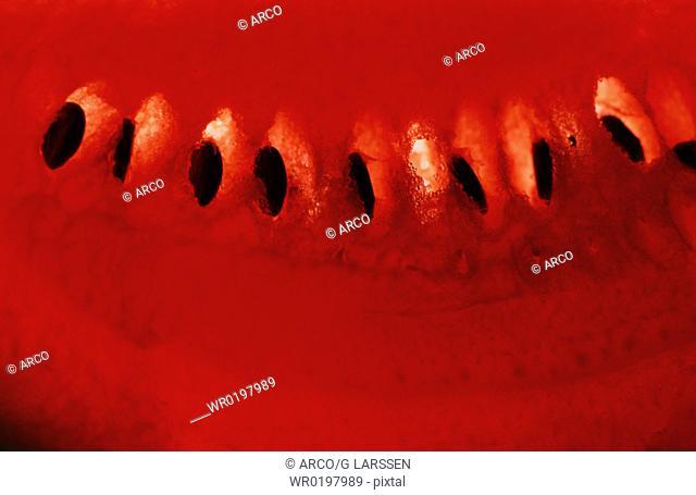 Watermelon,Citrullus, lanatus