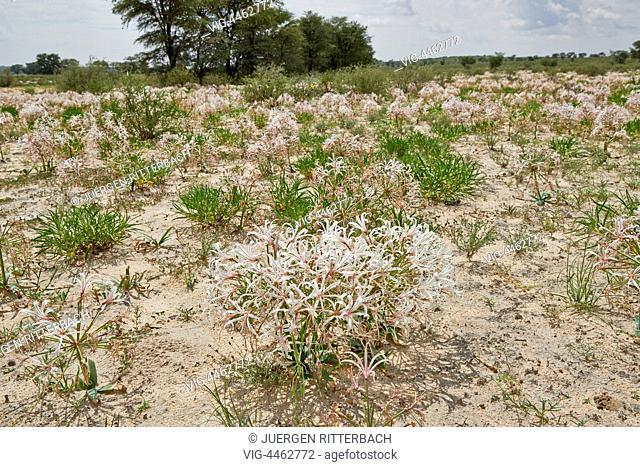lily flower in landscape, vleilelie, Nerine laticoma, Kgalagadi Transfrontier Park, Kalahari, South Africa, Botswana, Africa - Kgalagadi Transfrontier Park