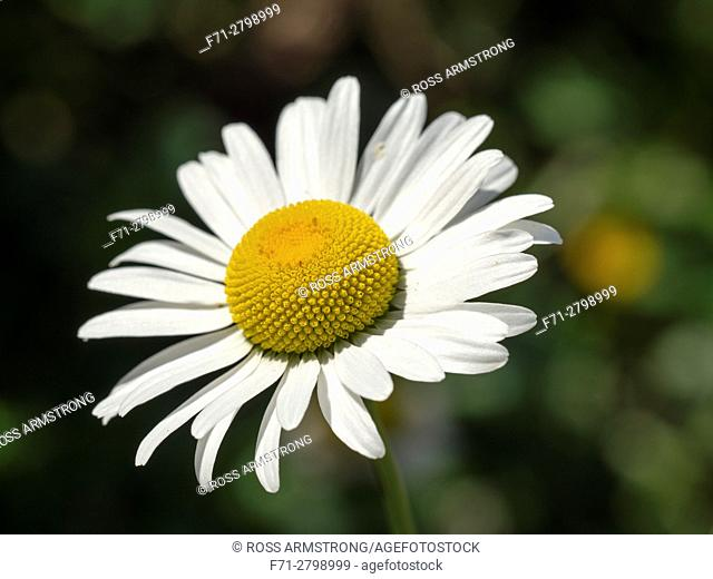 Bellis perennis is a common European species of daisy, of the Asteraceae family, often considered the archetypal species of that name