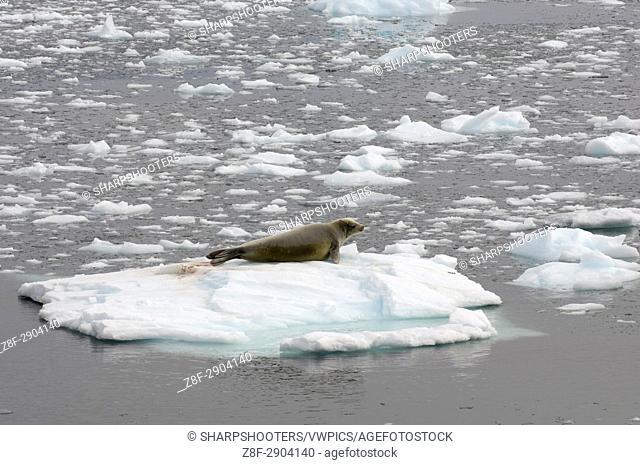 Antarctica, Antarctic Peninsula, Lemaire Channel, Crabeater Seal (Lobodon carcinophagus)