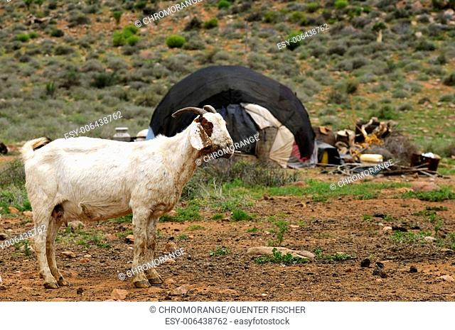 Goat in front of a hut of goat herders of the Nama people, Richtersveld, South Africa
