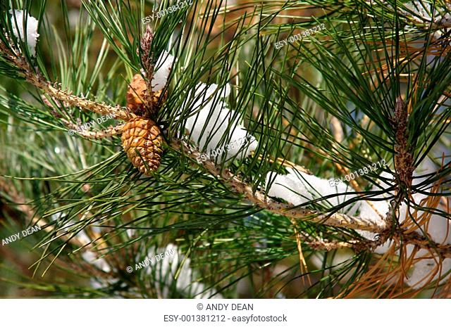 Snowy Branch with Pine Cones