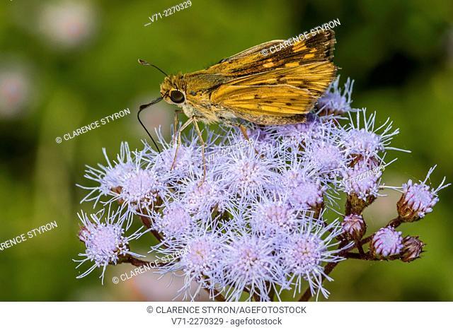Broad-winged Skippe; Butterfly (Poanes viator) Feeding on Ageratum (Eupatorium coelestinum) Flower