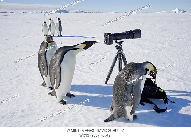 A small group of curious Emperor penguins looking at camera and tripod on the ice on Snow Hill island. A bird peering through the view finder