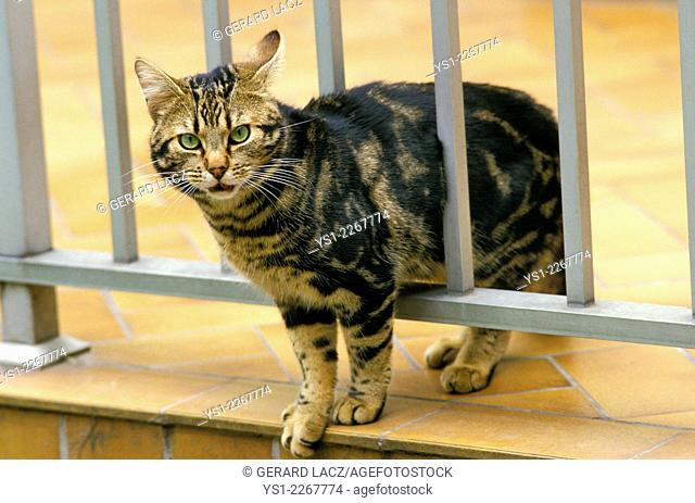 Brown Tabby Domestic Cat