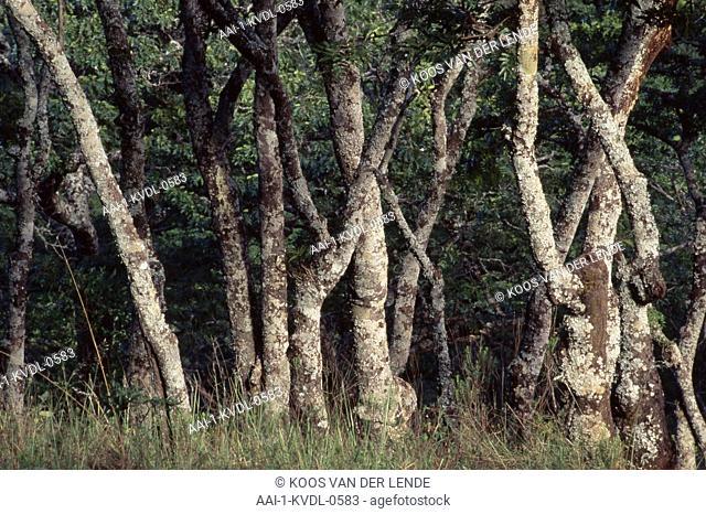 Forest, Zimbabwe