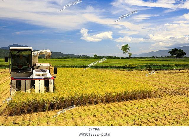 Taitung,Chishang,Grain harvest