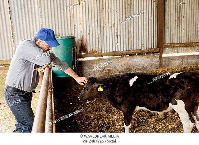 Farmer stroking calf by fence at shed