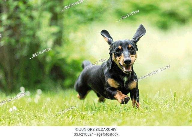 Short-haired Dachshund. Adult running on a meadow. Germany