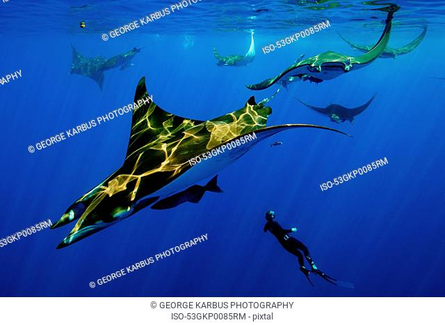 Diver swimming with manta rays
