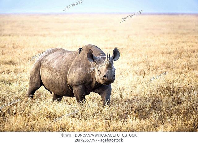Rhino on its own