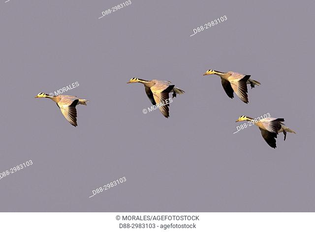 India, State of Assam, Kaziranga National Park, Bar-headed goose (Anser indicus), group in flight