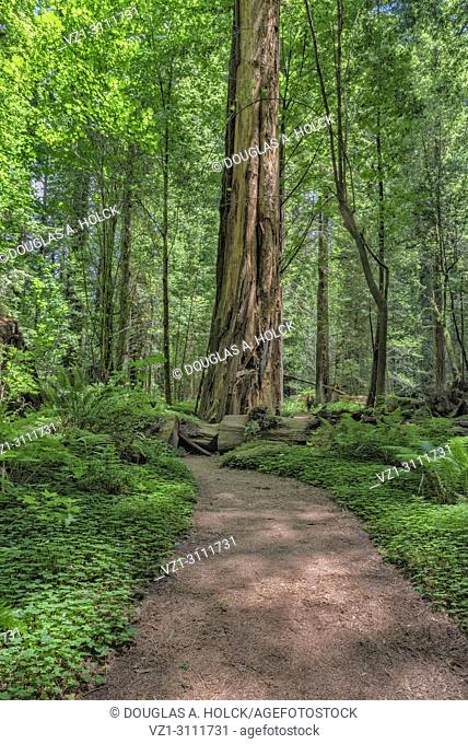 In Drury Channey Grove of the Avenue of the Giants, all paths lead to giant sequoia sempervirens redwoods, Northern California, USA