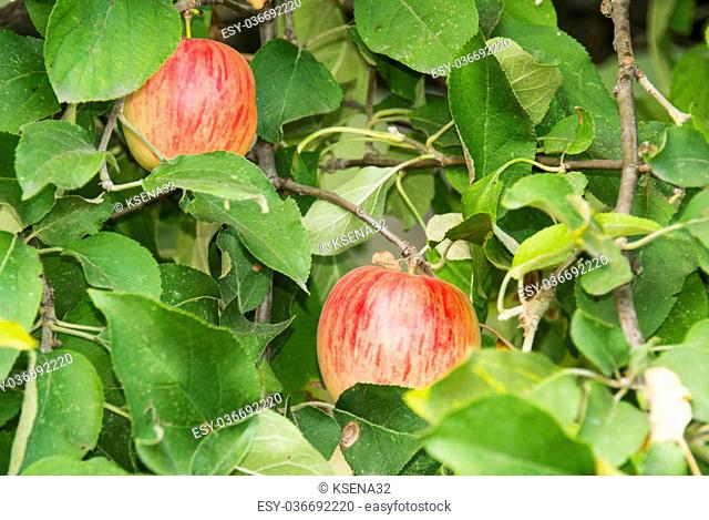 apples growing on apple trees