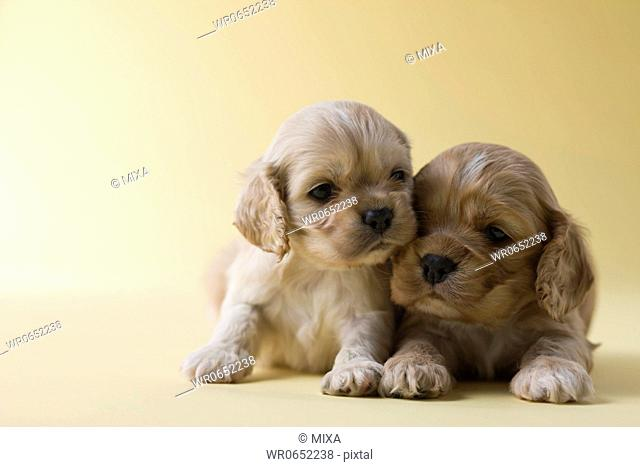 Two American Cocker Spaniel Puppies