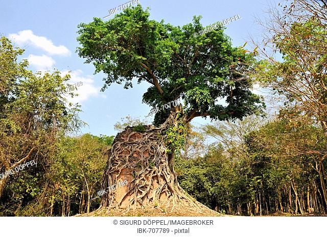 Jungle overgrowing Sambor Prei Kuk temple ruins, Kompong Thom Province, Cambodia, Southeast Asia