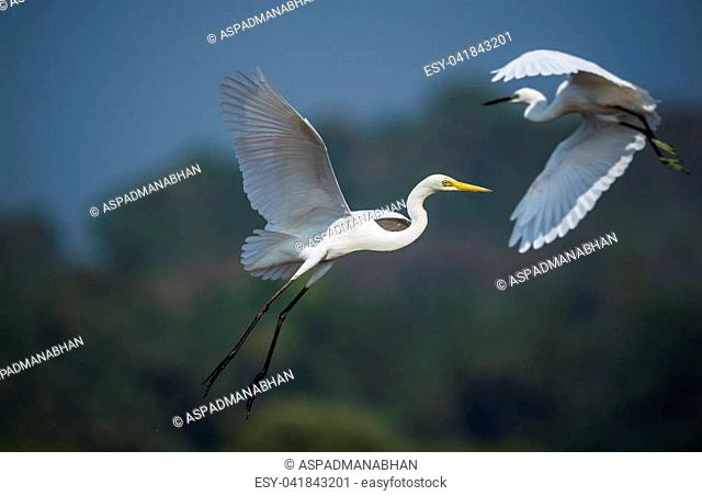 White egret and a heron hovering in air