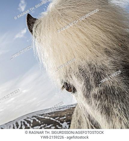 Portrait of White Icelandic Horse, Iceland