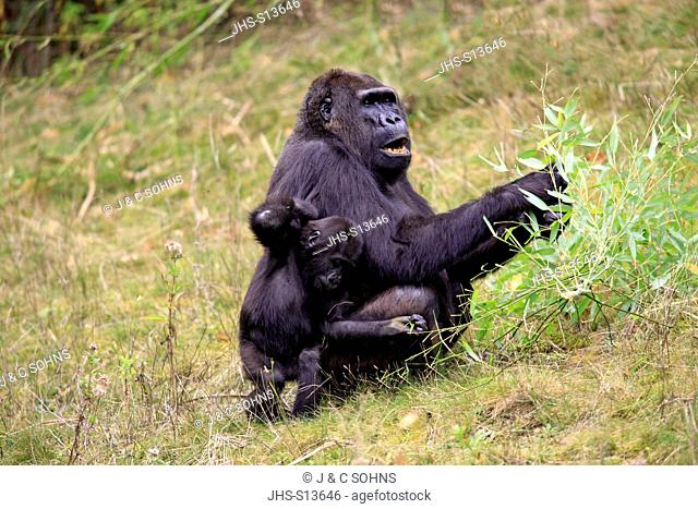 Lowland Gorilla,Gorilla gorilla, Africa, adult female with young feeding