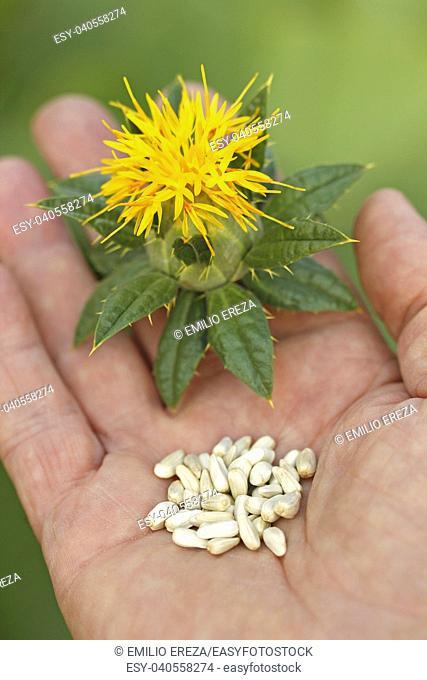 Safflower seeds. Carthamus tinctorius