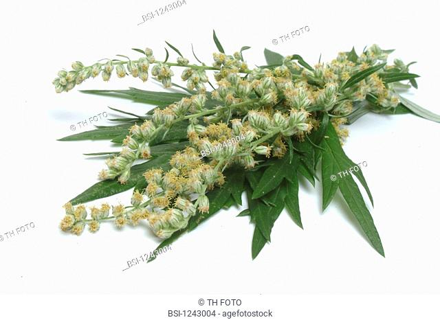 ANNUAL WORMWOOD<BR>Artemisia annua, often used as an affordable and effective anti-malarial