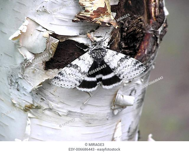 Perfect example of camouflage: a White underwing moth (Catocala relicta) resting and hiding on paper birch bark, almost invisible