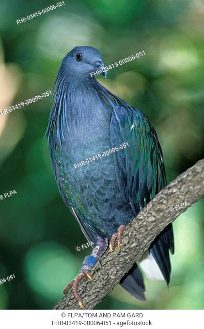 Nicobar Pigeon Caloenas nicobarica Perched / Close up / Indonesia