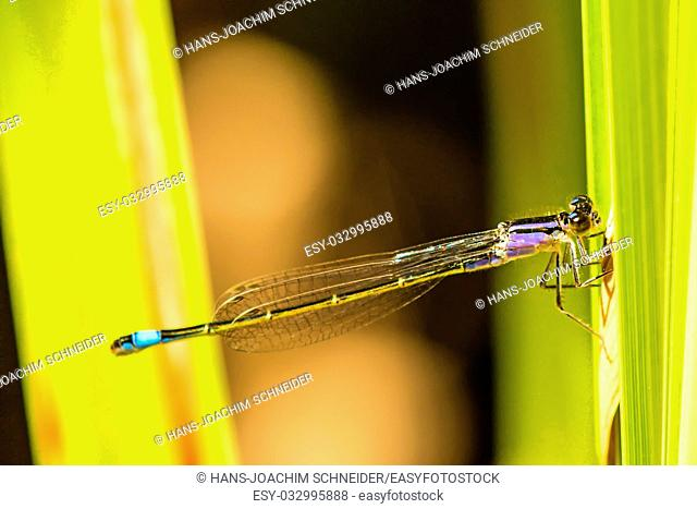 Blue-tailed Damselfly, young insect