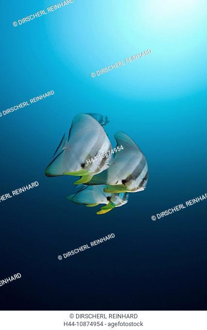 Langflossen-Fledermausfische, Platax teira, Nord Ari Atoll, Malediven, Longfin Batfish, Platax teira, North Ari Atoll, Maldives