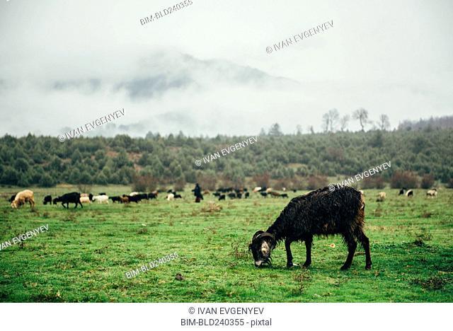 Ram grazing in green pasture