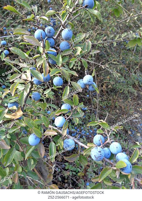 Blackthorn (Prunus spinosa). Catalonia, Spain