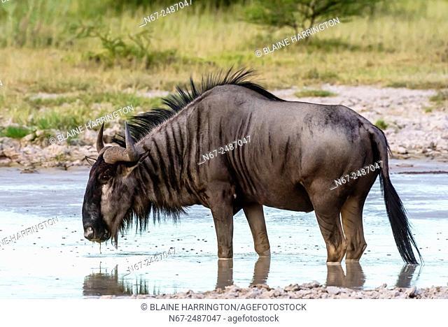 Blue wildebeest (gnu) at watering hole, Nxai Pan National Park, Botswana