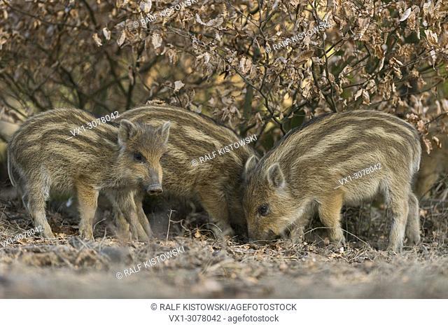Wild boar / Wild Hog / Feral Pig ( Sus scrofa ), scrambling shoats, searching for food under a beech bush, Europe